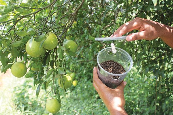 Fruit Fly Integrated Pest Management | icipe - International Centre