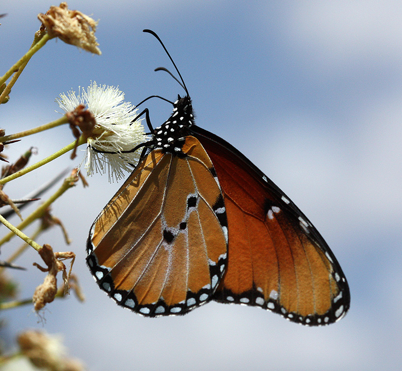 Tiny microbe turns tropical butterfly into male killer